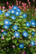 Ipomea Tricolor Morning Glory 10 Seeds - Exotic Looking Climber
